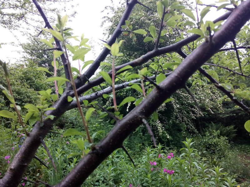 blackthorn barrier