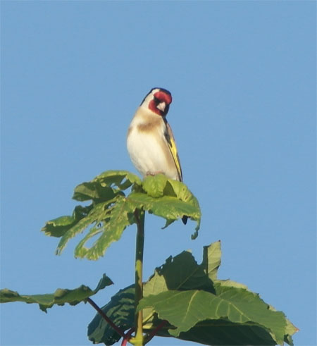 Goldfinch sycamore