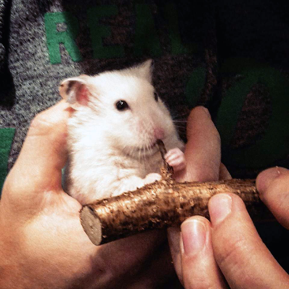 a cute hamster gnaws a stick